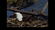 Brookfield Maine Eaglecam: April 11, 2013