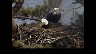 Brookfield Maine Eaglecam1: April 19, 2013_1503