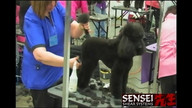 Poodle Tournament Sponsored by Sensei Shears