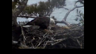 Brookfield Maine Eaglecam1:  April 23, 2013_1103