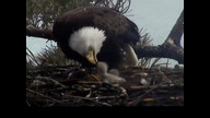 Brookfield Maine Eaglecam1: April 25, 2013