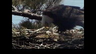 Brookefield Maine Eaglecam1: april 26, 2013_1129