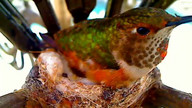 Great footage of Tinkerbell the hummingbird laying her 2nd egg in Emma&#039;s nest!