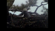 Brookfield Maine Eaglecam1: May 9, 2013_