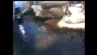 African Penguins, Biologist Cam