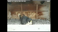 Rochester Falcons at Times Square Nest Box