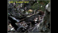 Hawkeye preening in West nest.
