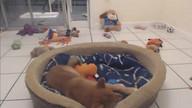 Shiba Inu Puppy Cam