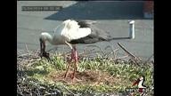 Warszewo White Storks