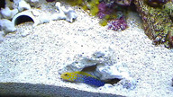 Blue Dot Jawfish