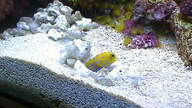 Blue Spot Jawfish blowing sand, threatening clown.
