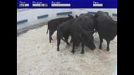 cow sale