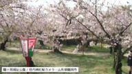 荘内神社お花見特設ライブカメラ@2015.4.18 鶴岡桜まつり(切り出し)