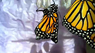 Monarch #2 emerged 12-26-2015 12:41pm pacific time