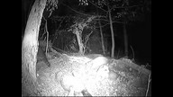 Raccoons feeding with a groundhog at night