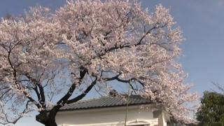 小弓の庄 彼岸桜 満開