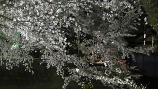 桜だより(6)五条川小弓橋