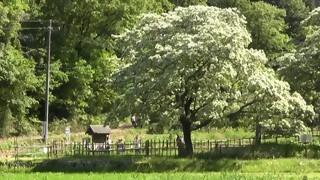 ヒトツバタゴ自生地五分咲き 国天然記念物犬山市池野
