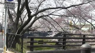 桜だより1羽黒五条川二分咲き(満開は彼岸桜)
